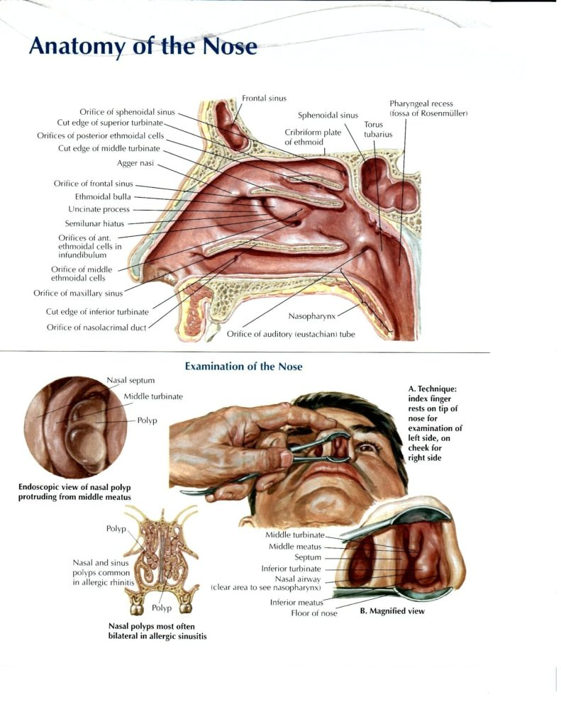 Ear and nose anatomy